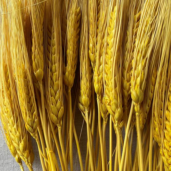 Triticum Wheat Yellow