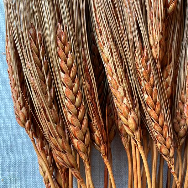 Triticum Wheat Rust